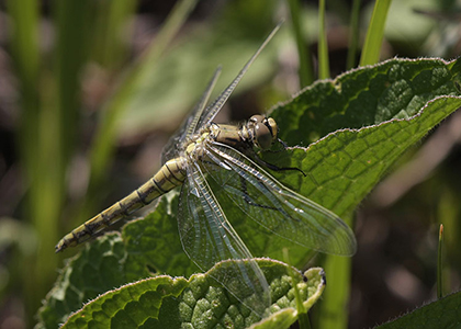Lake Morii Wildlife - Dragonflies