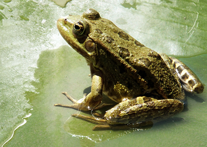 Lake Morii Wildlife - Marsh Frog